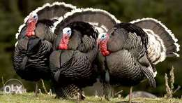 Turkeys for sell