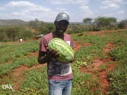sweet rose melon from machakos