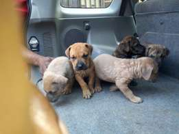 Male and female boerboel puppy for sale at lagos