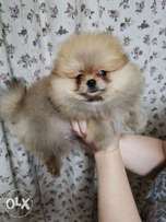 Super Quality Mini pomeranian Imported from Europe . Fastest Delivery