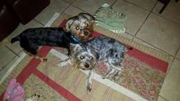 Yorkie pair Male and Female For Sale