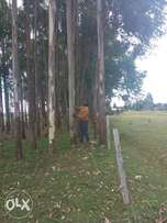 Selling bluegum trees. (Over 2000 in number)