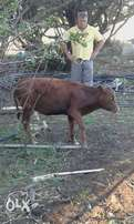 Miniature sized Cow