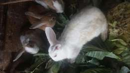 Healthy rabbits for sale