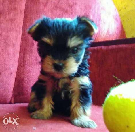 Availabile NOW in Egypt Amazing Yorkshire puppies