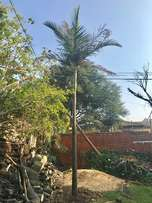 4.5m Tall Palm Tree for sale