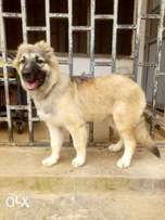 An Adorable 5 Month Old Female Caucasian Ovcharka Puppy.