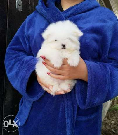 Cutest Imported mini maltese puppies available now for reservation