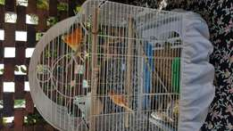 Canaries for sale & Cage
