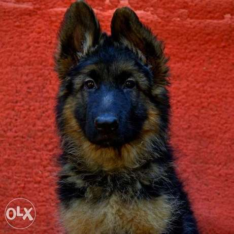 We offer for sale puppies of the German Shepherd of chaprachny color