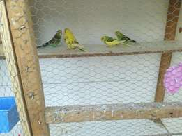4 budgies with cage and accessories