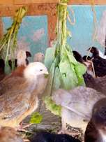 Kuroiler chicks 1mth old