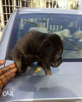 Polish black boerboel female puppy for sale...its not cheap