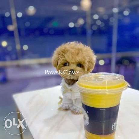 Poodle Teddy color champagne, for all questions only by phone,