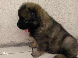 Caucasian puppy available for sale