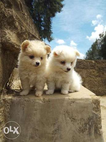 Adorable puppies. Karen - image 4