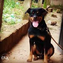 full breed box head rottweiler for meating service