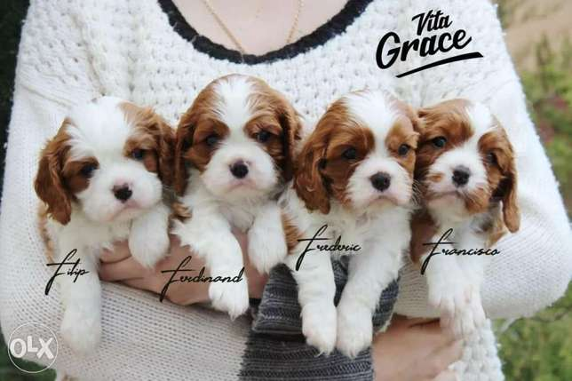 Cavalier King Charles High Quality Imported