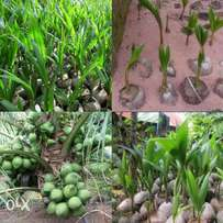 Hybrid and Dwarf coconut seedlings for sale