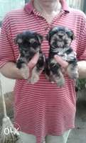 Yorkie pups very cute,ready for there new homes