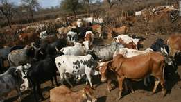 Bonsmara cattle for sale at affordable price