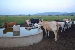 Nguni cows with calves for sale.