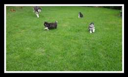 Huskey puppies