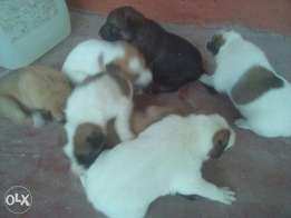 Selling puppies