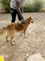 Gsd male dog for sale