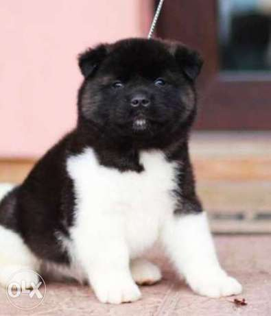 American akita, imported with all documents.. Premium quality