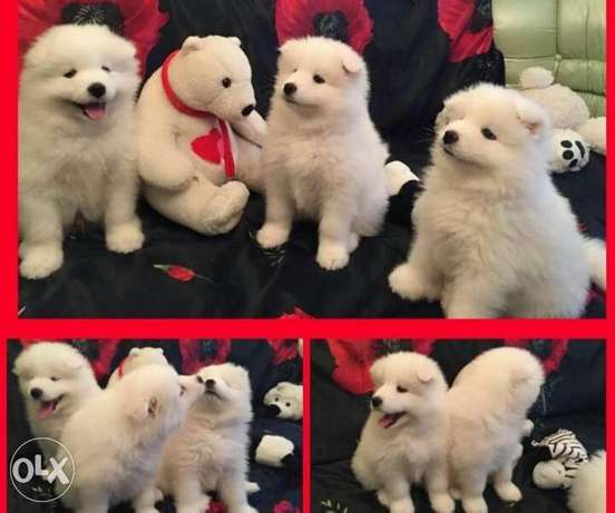Samoyed puppies, Giant size, imported with Pedigree and microchip مدينة الرحاب -  1
