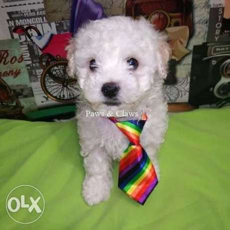 I offer for sale Bichon Frize puppies, doll-like boys.