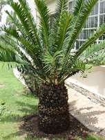 E natalensis cycad - Adult Male Plant