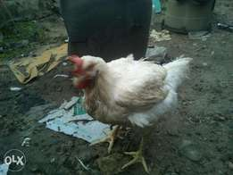 Live broilers for sale