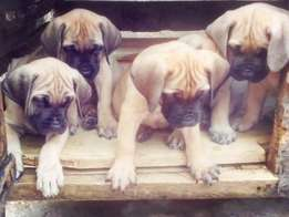 Top quality full/purebred pedigree Boerboel puppies for sale