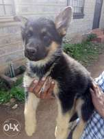 pure gsd pups 4males remaining