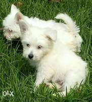 Two months old puppies for sale.