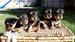 Yorkshire terrier puppies for sale (vet checked)