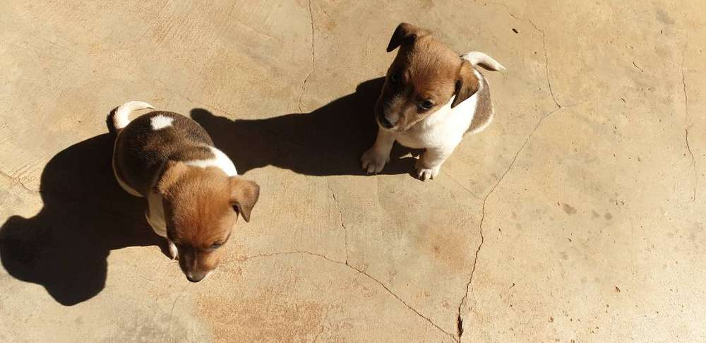Dogs Jack Russell - Classified ads for Pets in Gauteng | OLX