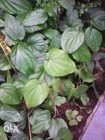 Paan leaves for sale