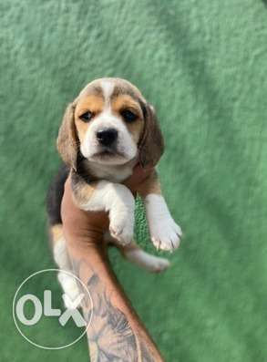 Imported Beagle From Ukraine with all documents Top Quality
