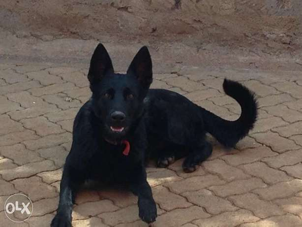 Extremely Rare Dark Sable\ Black German Shepherd pups.Parents imported Kasarani - image 2