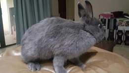 8 Month old male Nethaerland Dwarf rabbit looking for a new home