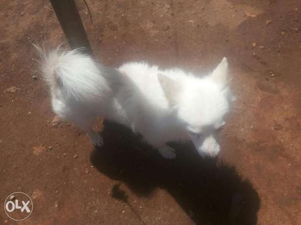 cute white german puppy Ongata Rongai - image 3