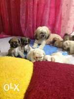 Male and female Lhasa apso puppies available for sale..