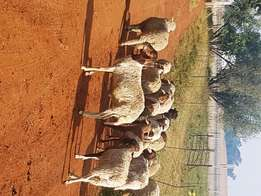 Sheep Ram Lambs