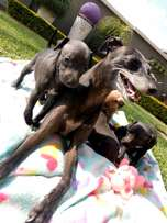 3 Gorgeous purebred Italian Greyhound puppies for sale