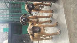 4 month old Pure Boer Boel-Puppies