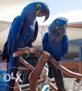 Talking blue macaw parrots available for sale