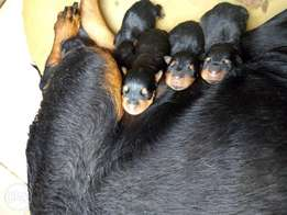 Box head rottweiler puppies